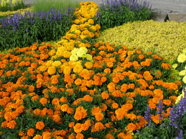 Orange tagetes