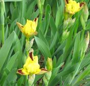 Iris pumila 'Glaming Gold'